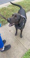 Labrador Retriever Puppies for sale in 9126 White Aspen Pl, Charlotte, NC 28269, USA. price: NA