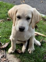 Labrador Retriever Puppies for sale in Watchung, NJ, USA. price: NA