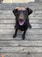 Labrador Retriever Puppies for sale in Waterford Twp, MI, USA. price: NA