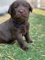 Labrador Retriever Puppies for sale in Mountain Home, ID 83647, USA. price: NA