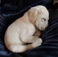 Labrador Retriever Puppies for sale in Corsicana, TX, USA. price: NA