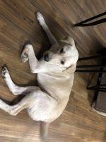 Labrador Retriever Puppies for sale in Palestine, TX, USA. price: NA