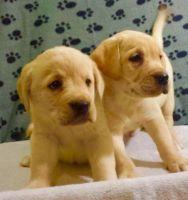 Labrador Retriever Puppies for sale in Arizona City, AZ 85123, USA. price: NA