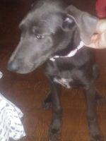 Labrador Retriever Puppies for sale in Oklahoma City, OK, USA. price: NA