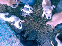 Labrador Retriever Puppies for sale in Pomona Park, FL 32181, USA. price: NA