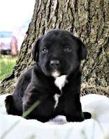 Labrador Retriever Puppies for sale in El Cajon, CA, USA. price: NA