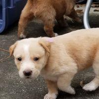 Labrador Retriever Puppies for sale in Fairhope, AL 36532, USA. price: NA