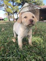 Labrador Retriever Puppies for sale in Marietta, OK 73448, USA. price: NA