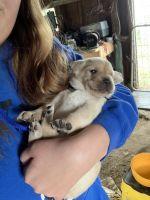 Labrador Retriever Puppies for sale in Atlantic, IA 50022, USA. price: NA