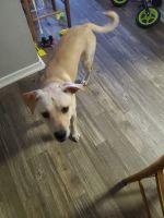 Labrador Retriever Puppies for sale in Tulsa, OK, USA. price: NA