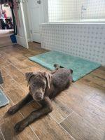 Labrador Retriever Puppies for sale in Suffolk, VA, USA. price: NA