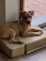 Labrador Retriever Puppies for sale in Steele Creek, Charlotte, NC, USA. price: NA