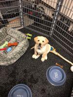 Labrador Retriever Puppies for sale in Mill Creek, WA 98012, USA. price: NA