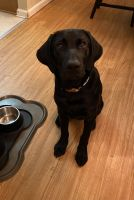 Labrador Retriever Puppies for sale in Lancaster, PA, USA. price: NA