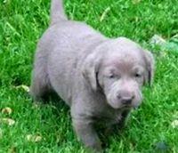 Labrador Retriever Puppies for sale in Argyle, TX 76226, USA. price: NA