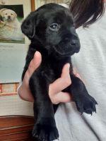 Labrador Retriever Puppies for sale in Syracuse, NY, USA. price: NA