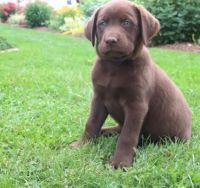 Labrador Retriever Puppies for sale in Juneau, AK, USA. price: NA