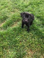 Labrador Retriever Puppies for sale in River Edge, NJ, USA. price: NA
