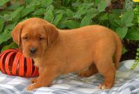 Labrador Retriever Puppies for sale in Los Angeles, CA 90037, USA. price: NA
