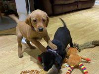 Labrador Retriever Puppies for sale in Keller, TX 76248, USA. price: NA