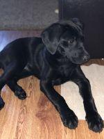 Labrador Retriever Puppies for sale in McKinney, TX 75070, USA. price: NA