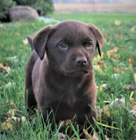 Labrador Retriever Puppies for sale in Loudonville, OH 44842, USA. price: NA