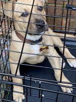 Labrador Retriever Puppies for sale in Augusta, GA, USA. price: NA