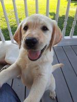 Labrador Retriever Puppies for sale in Scio, OH, USA. price: NA