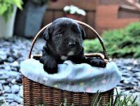 Labrador Retriever Puppies for sale in AZ-101 Loop, Glendale, AZ, USA. price: NA