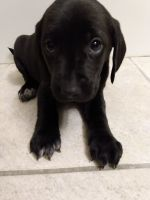 Labrador Retriever Puppies for sale in Woodbury, MN, USA. price: NA