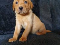 Labrador Retriever Puppies for sale in Federal Way, WA 98001, USA. price: NA