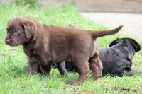 Labrador Retriever Puppies for sale in San Francisco, CA, USA. price: NA