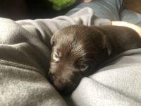 Labrador Retriever Puppies for sale in Roy, WA 98580, USA. price: NA