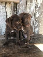Labrador Retriever Puppies for sale in New Philadelphia, OH 44663, USA. price: NA