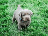 Labrador Retriever Puppies for sale in Victorville, CA 92395, USA. price: NA