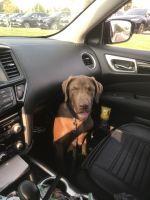Labrador Retriever Puppies for sale in Hillsboro, OR, USA. price: NA