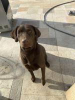 Labrador Retriever Puppies for sale in Riverside, CA, USA. price: NA
