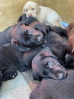 Labrador Retriever Puppies for sale in Evansville, IN, USA. price: NA