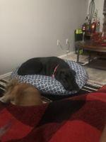 Labrador Retriever Puppies for sale in Springville, UT, USA. price: NA