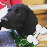 Labrador Retriever Puppies for sale in Greenwood St, New Britain, CT 06051, USA. price: NA