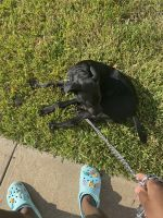 Labrador Retriever Puppies for sale in Prairie View, TX, USA. price: NA