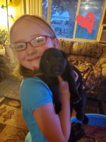 Labrador Retriever Puppies for sale in Boise, ID, USA. price: NA
