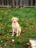 Labrador Retriever Puppies for sale in Levittown, PA 19057, USA. price: NA