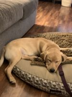 Labrador Retriever Puppies for sale in High Point, NC, USA. price: NA