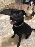 Labrador Retriever Puppies for sale in Mayflower, AR, USA. price: NA