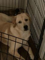 Labrador Retriever Puppies for sale in Seattle, WA, USA. price: NA