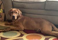 Labrador Retriever Puppies for sale in Baltimore, MD, USA. price: NA