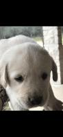 Labrador Retriever Puppies for sale in Victoria, TX, USA. price: NA