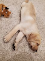 Labrador Retriever Puppies for sale in Cranberry Twp, PA, USA. price: NA