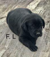 Labrador Retriever Puppies for sale in Worthington, MN, USA. price: NA
